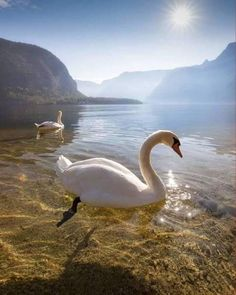 Find images and videos about nature, animals and Swan on We Heart It - the app to get lost in what you love. Beautiful Swan, Beautiful Birds, Animals Beautiful, Nature Animals, Animals And Pets, Cute Animals, Animal Photography, Nature Photography, Photo Animaliere