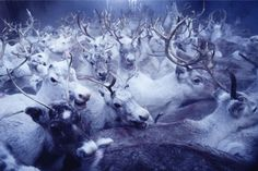 sami people | Tumblr. Wow.  That's a lot of reindeer