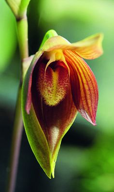 Bulbophyllum mandibulare  by Mikaels  #Orchids
