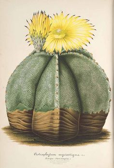 Bishop's Hat, Mexican cactus. Astrophytum myriostigma. L' Illustration horticole, vol. 8: t. 292 (1861) via Paisatges i Jardins on Pin...