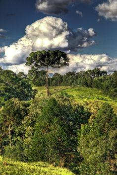 Araucária tree. Paraná - Brazil