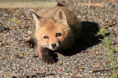 A Sleepy Red Fox Kit | Nicholas Rinaldi | Flickr