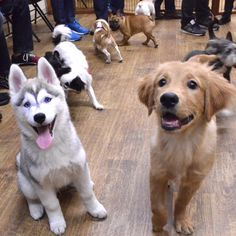Sterling the Siberian Husky teaches a new friend the art of looking cute for treats  #studentbecomestheteacher