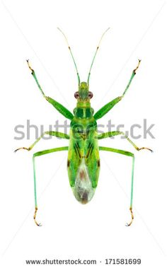 Bug Nabis viridulus on a white background - stock photo