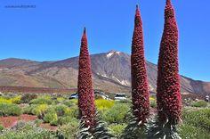 Sabías que en lo mas alto de la isla de Tenerife en el mes de mayo florece una palnta que se la conoce como Tajinastes y que parecen llegadas del espacio?