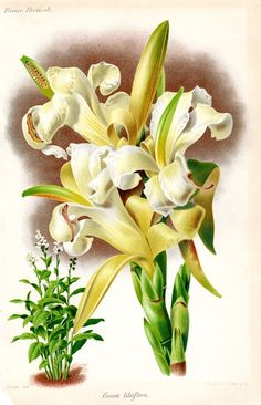 1883 Antique Botanical Print Lily Canna French  Vintage Flower Home Decor
