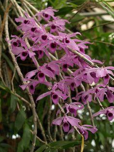 Dendrobium Anosmum | Dendrobium anosmum