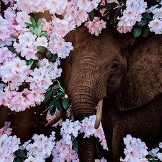 Elephant Phone Wallpaper, Live Wallpaper Iphone, Animal Wallpaper, Aesthetic Iphone Wallpaper, Elephants Photos, Save The Elephants, Elephant Love, Elephant Art, Elephant Photography