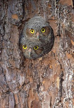 Eastern Screech-Owlets.  perfect picture of nature's perfect camouflage!!!