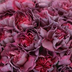 Make your garden-inspired event a fairytale affair with Enchanting Eve Carnation Flowers. Carnations have medium-sized heads, each with layers of ruffled petals Carnation Colors, Purple Carnations, Purple Hydrangeas, Lavender Roses, Bulk Wedding Flowers, Flower Bouquet Wedding, Bridal Bouquets, Flower Meanings, Ivory Roses