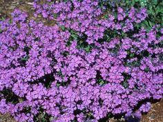 Blue Phlox Phlox divaricata 'Sweet Lilac' : HGTVGardens
