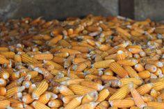 Myanmar, Corn