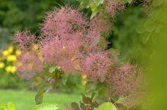 Perückenstrauch • Cotinus coggygria • Pflanzen & Blumen • 99Roots.com