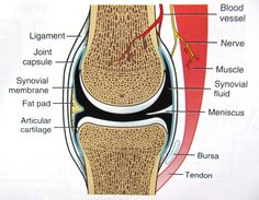 the makeup of a synovial joint
