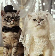 Cat wedding Picture from Cats. A cat wedding Funny Cat Videos, Funny Animal Pictures, Funny Cats, Funny Animals, Cute Animals, Funny Photos, Funny Images, Bee Pictures, Daily Pictures