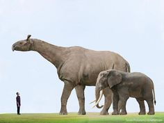The largest Prehistoric land mammal compared to the largest land mammal today. African Elephant - 12 feet tall / 6 tonnes Indricotherium - 20 feet tall / 20 tonnes ----- not a dinosaur but you get the gist. Prehistoric World, Prehistoric Creatures, Dinosaur Fossils, Dinosaur Art, Reptiles, Mammals, Vida Animal, Extinct Animals, African Elephant