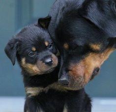 Rottweiler love