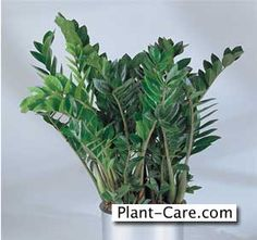 1000 images about zz plant on pinterest houseplant for Easy to take care of plants