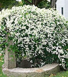 39 Best Sweet Autumn Clematis Images Gardens Flowers Sweet