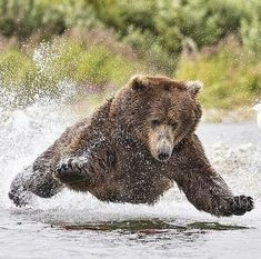 Photography by © (Rimma Aronov). Using his own unique method of salmon fishing in Dillingham, Alaska, the male bear would leap into the air and lift all four paws. Animals And Pets, Funny Animals, Cute Animals, Nature Animals, Wild Animals, Beautiful Creatures, Animals Beautiful, Wild Life, Cutest Animals