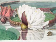 Water Lily illustration - circa 1852
