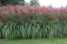 Miscanthus – prachtriet, winterhard siergras dat 2 m hoog word, de soort floridulus wordt 3 m. Ook in de winter zorgt gras voor een mooi tuinsilhouet. Kan op alle grondsoorten, houd wel van een zonnig plekje.