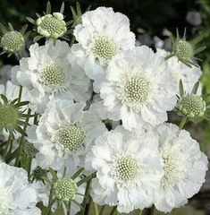 Garden Planning 20 Lovely Moon Garden That WIill Transfrom Your Yard Button Flowers, White Flowers, Beautiful Flowers, Beautiful Moon, White Perennial Flowers, Green Flowers, Simply Beautiful, Rosen Beet, Bloom