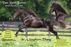 VBF It's A Southern Thang  Rocky Mountain Horse   Van Bert Farms
