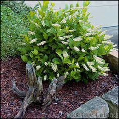 Virginia Sweetspire 3 ft, fragrant summer flowers, red foliage in fall.  Evergreen zone 7