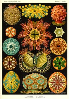 Ernst Haeckel Art Nouveau Nautical Poster From Vintage Scientific Illustration - Vivid Sea Plants On Black Digital Art Print - Home Decor Illustration Botanique, Illustration Art, Vintage Illustrations, Antique Illustration, Ernst Haeckel Art, Art Nouveau, Karl Blossfeldt, Art Et Nature, Natural Form Art