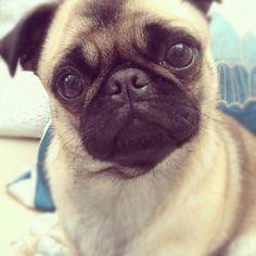 puppy pug! I want one soooo bad . % ¥