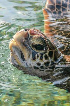 The Galapagos Tortoise Fact Sheet Sea Turtle Painting, Sea Turtle Art, Turtle Love, Beautiful Sea Creatures, Animals Beautiful, Cute Animals, Marinha Wallpaper, Sea Turtle Pictures, Cute Baby Turtles