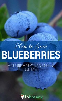 How to grow blueberries in containers for the urban garden. Have sweet berries on your doorstep, perfect for breakfast! Lobotany.com