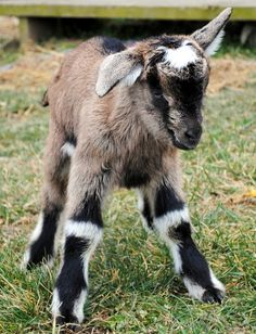 My favorite baby goat we had born this year - Tackle. :)