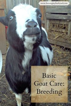 Basic Goat Care: Breeding Goats - Farming My Backyard