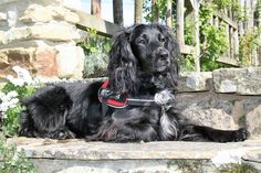 Molly UKPD Cat Detection Dog looking regal in the spring sunshine of 2017 just before a lost cat search