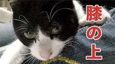 【猫の里親募集】保護猫ケンちゃん♡うめぇ~と鳴き…初めて膝の上で甘える!?【ネコの譲渡会へ向けて☆】Cat Life Videos - Fera...