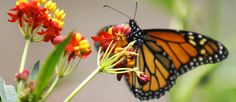 Setting the Table for a Regal Butterfly Comeback, With Milkweed - The New York Times