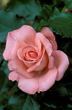 Rosa 'Crathes Castle'