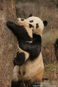mama panda assisting baby panda