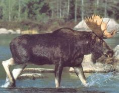 Amazing! This large moose crossing lake animal nature art print poster lends expressive wild animal nature's beauty to any surroundings and decor. It will surely express your passion for wild life animal's artistry. It will be a perfect for any home decor and this large moose would be proud to decorate any room in your home. We offer durability and perfect color accuracy which keep long lasting beauty of the product.
