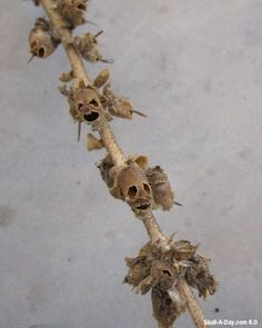 An old stem of snapdragons flowers that produced these cool skull seed pods.