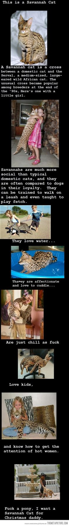 I want a Savannah cat and I want it now I Love Cats, Crazy Cats