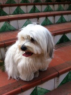 Havanese Dogs, Mans Best Friend, Animals, Puppies, Animales, Cubs, Animaux, Animal, Animais
