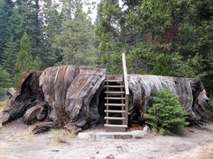 1,700 year old Mark Twain ancient sequoia tree stump, Big Stump Basin, Kings Canyon National Park, California