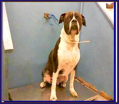 Houston TX: Super Urgent BARC #Dog Axel A1083269 the 4-yr-old 85-lb HW+ Owner-Surrender