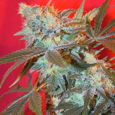 ICED Widow Feminised Seeds by the cannabis breeder Female Seeds, is a Photoperiod Feminised marijuana strain.This Indica strain produces a High High yield. Additionally it can be expected to grow into a Medium plant reaching 60 - 80 cm. The CBD content of the strain is Unknown.