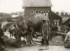 German soldiers using an elephant to haul timber, c. 1915.