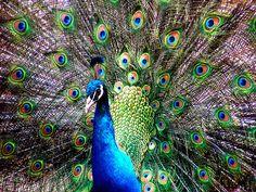 Beautiful patterns in nature - peacocks!