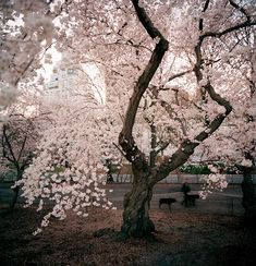 Yoshino cherry tree from New York City of Trees.